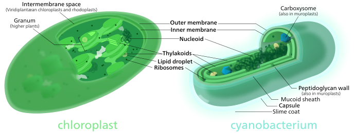 690px-Chloroplast-cyanobacterium_comparison.svg